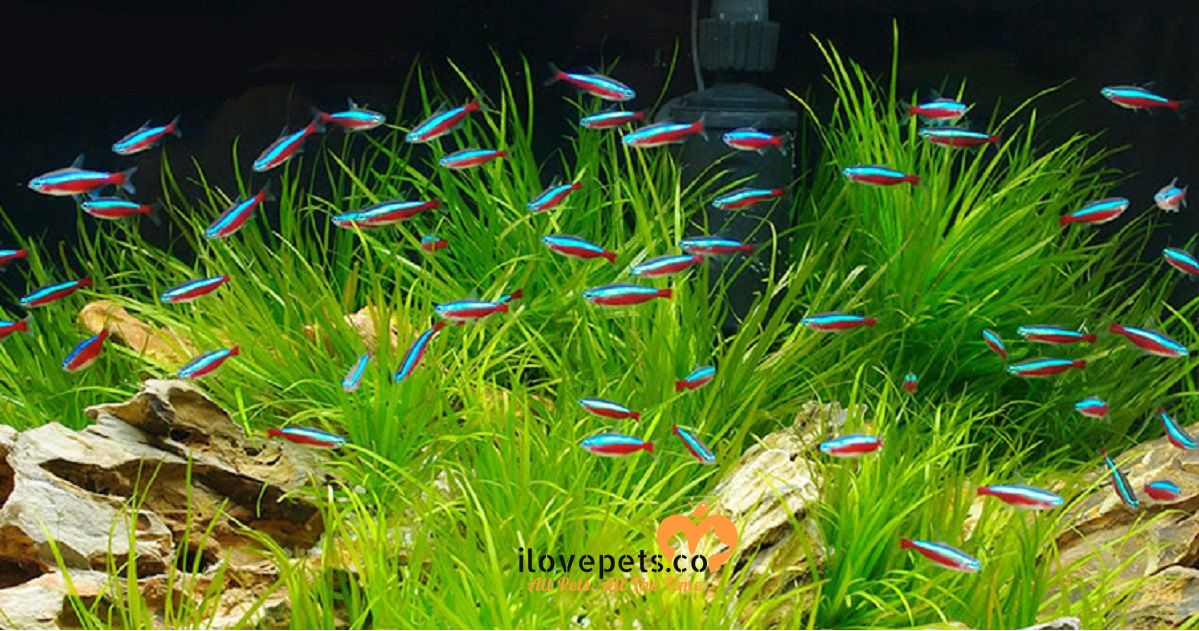 How Many Tetra Fish Can I Put In A 5 10 20 Gallons Or Liters Tank I Love Pets Fresh Water Fish Tank Tropical Fish Tanks Tetra Fish