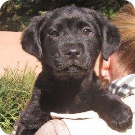 Shepherd Unknown Type Labrador Retriever Mix Puppy For Adoption In Walnut Creek California Blair