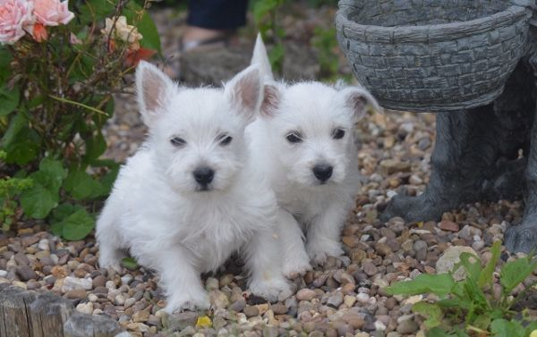 Pedigree Westie Boys And Girls Puppies For Sale Puppies Rehome Dog