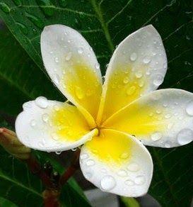 Khasiat Dan Manfaat Bunga Kamboja Obat Tradisional Terbaru Bunga Kamboja