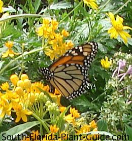 Butterfly gardening tips with host and nectar plants of ...