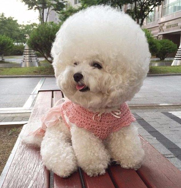 Tori The Bichon Frise Shares The Secret To Her Spherical Hairstyle Fluffy Puppies Bichon Frise Dog Hair