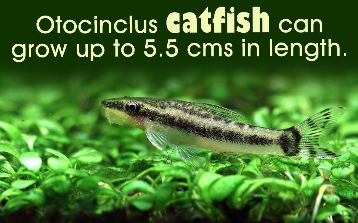 Commonly Known As Algae Eaters Otocinclus Catfish Are Bottom Dwellers Go Through This Article For Some Information Catfish Aquarium Maintenance Aquarium Fish