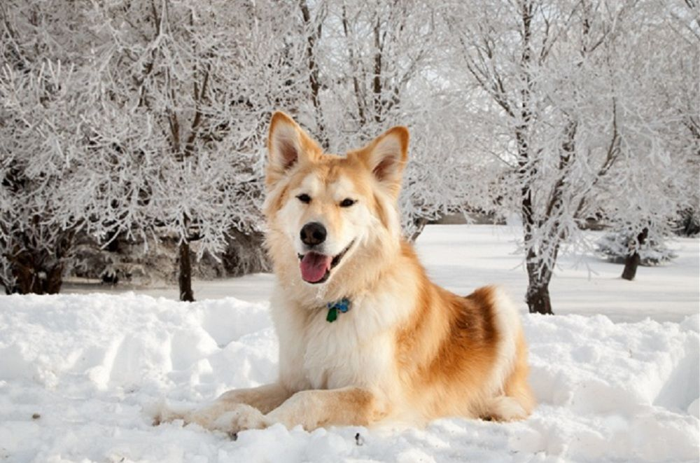 Goberian Golden Retriever Siberian Husky Siberian Husky Dog