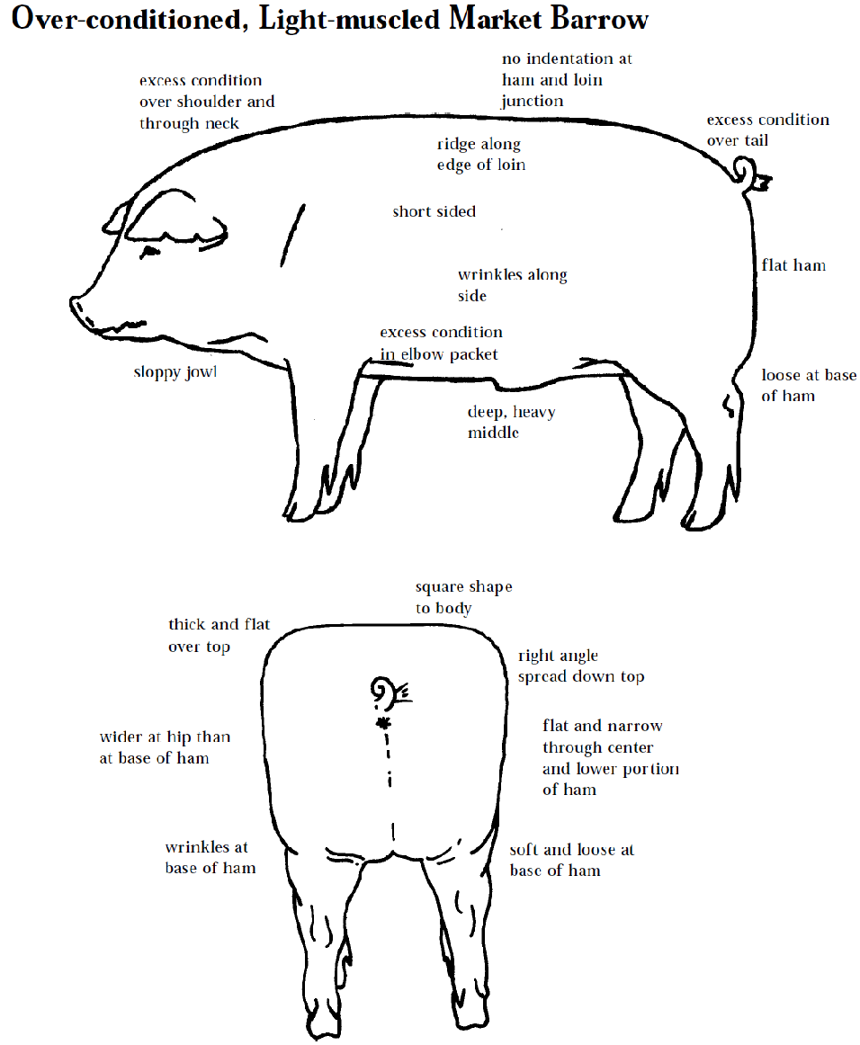 4 h pig diagram sylvania t8 ballast wiring judging livestock you are going to make it into meat boys and girls for my sandwich i don t care what name the