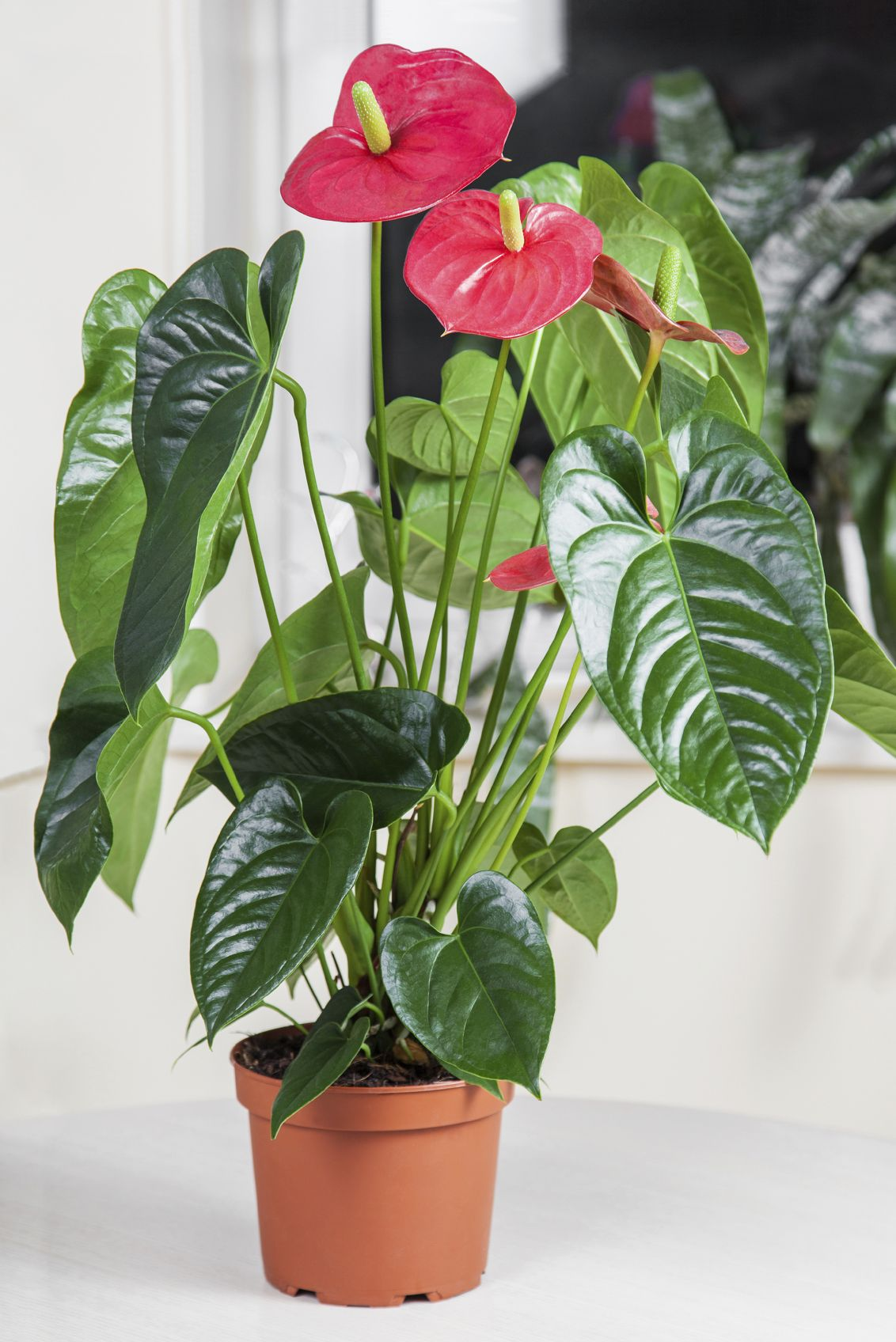 Anthurium Plant Care Learn About Repotting Anthuriums Anthurium Plant Common House Plants Air Purifying House Plants