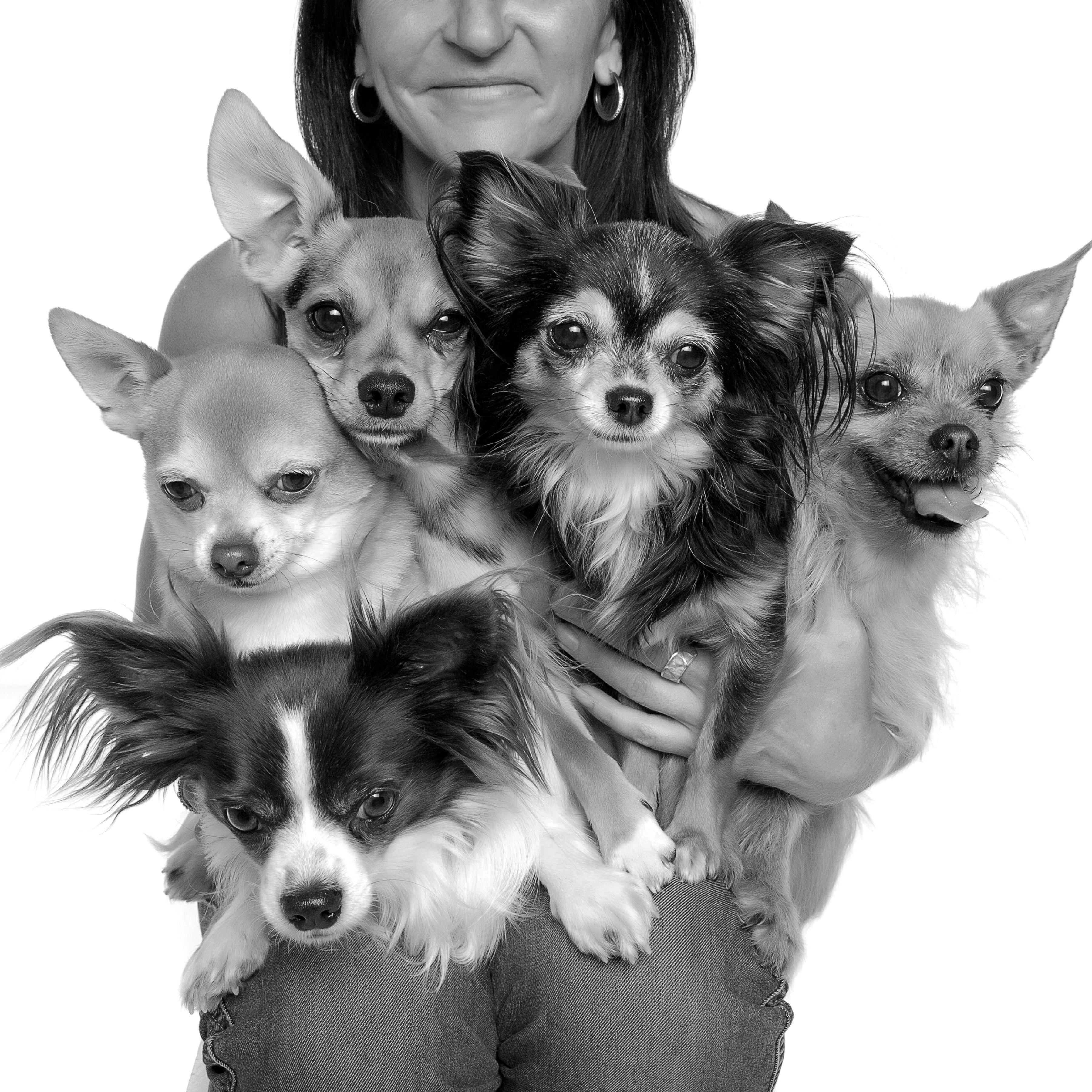 Chiwawa Portrait In Studio Dog Portraits Studio Dog Photography