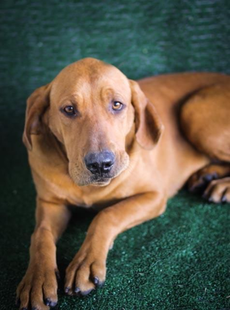 Meet Bella-620e a Petfinder adoptable Redbone Coonhound Dog | Wolfe City, TX | ~~~~~~~~~~~~~~~~~~~~~~~~~~~~~~~~~~~~~~~~~~~~~~~~~~~~~~~The Frank Barchard Memorial Animal Shelter...