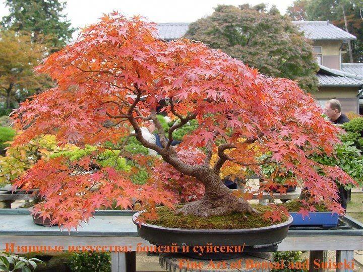 Bonsai Japanischer Ahorn Indoorbonsaitrees Ahorn Bonsai