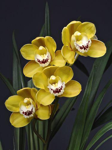 Cymbidium Satin Doll 'Golden Yellow'   Flickr - Photo Sharing!