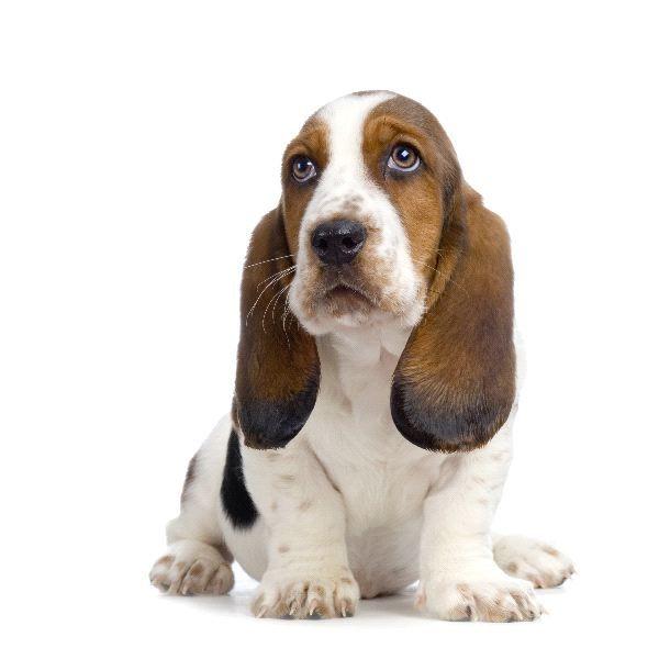 Basset Hound Basset Hound Image Tags Chiot Jeune Basset Artesien Normand Basset Basset Hound Puppy Basset Hound Basset Hound Dog