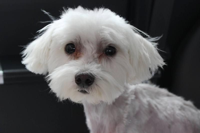 Adopt Prince On Petfinder Maltese Dogs Dog Adoption Rescue Dogs