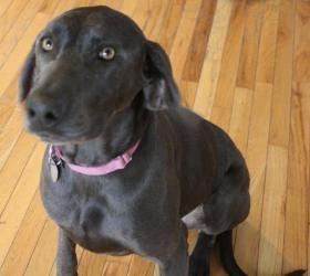 Adopt Lily On Petfinder Dogs Weimaraner Dogs Weimaraner