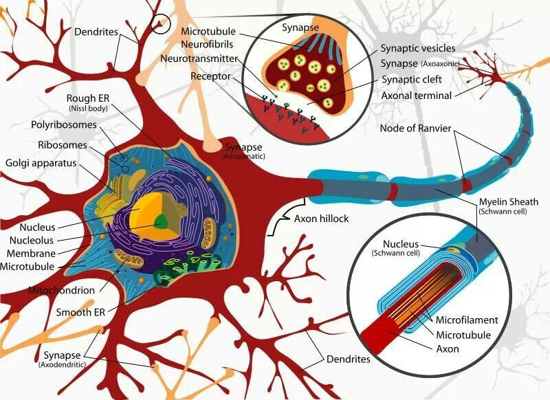 Anatomy of neuron | Neuroscience | Pinterest | Anatomy, Brain and ...