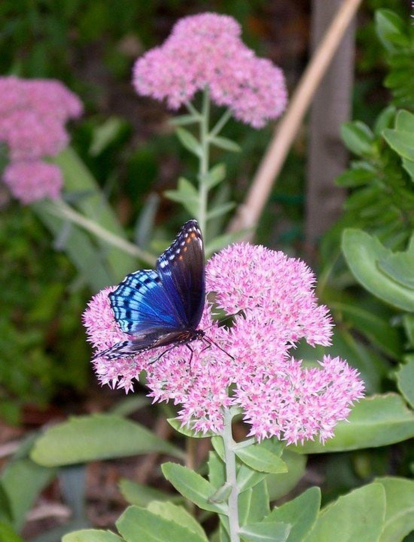 Blue Beauty (Butterfly on Sedum Flower) in 2020 Sedum