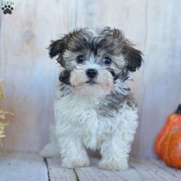 Mason Havanese Puppy For Sale in Ohio Havanese puppies