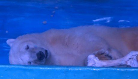 This Tragic Polar Bear Lives in a Glass Box so People Can Take Selfies [VIDEO]