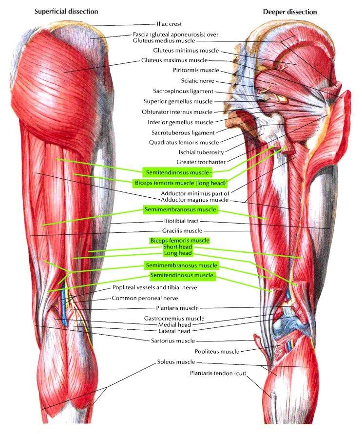 넙다리(대퇴)의 근육 17 - Hamstring muscles 뒤넙다리근 슬괵근 膝膕筋 ...