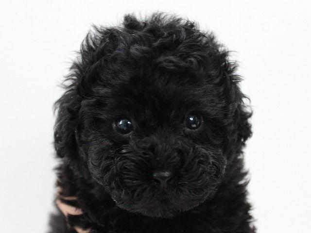 ティーカップ タイニー小さめ予想のブラックのメス 千葉県柏市 トイプードルのブリーダー 東京 千葉 関東ならプードルライフ プードル トイプードル ブラック トイプードル 子犬