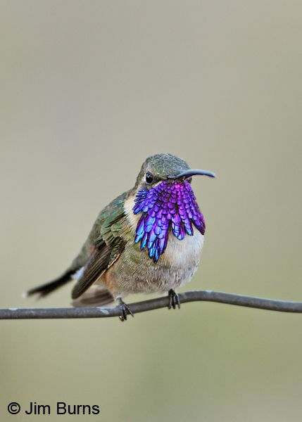 Hummingbird - Calothorax lucifer