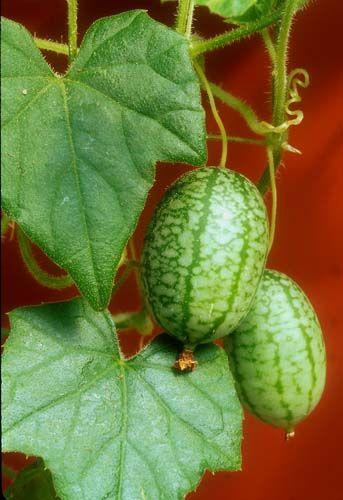 'Mexican Sour Gherkin' - mini heirloom cucumber!