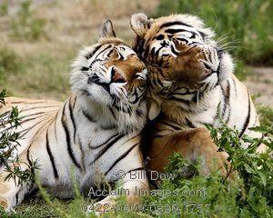 Bildergebnis für cuddling tigers