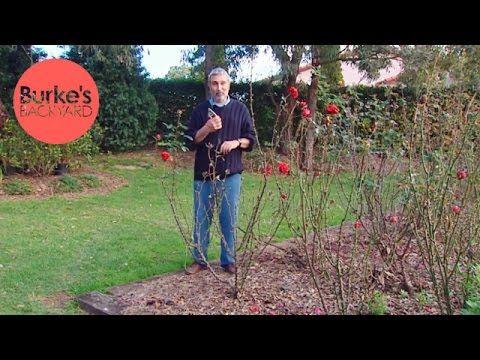 Burke S Backyard Rose Pruning Youtube Rose Care Told You So Backyard