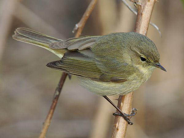Tjif Tjaf Vogels Prachtige Vogels Vogels Kijken