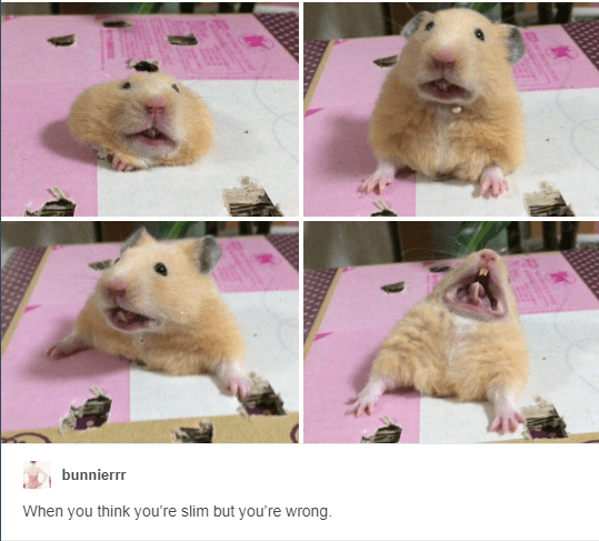 Twelve Funny Tumblr Posts About Hamsters Amuzant Umor Animale