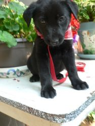 Adopt Iggy Poo On Dog Adoption Schipperke Labrador Retriever
