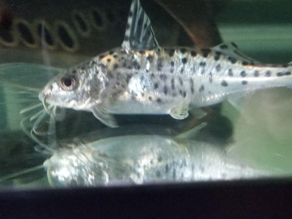 Common Pleco And Pictus Catfish Plecostomus Catfish Tropical Fish