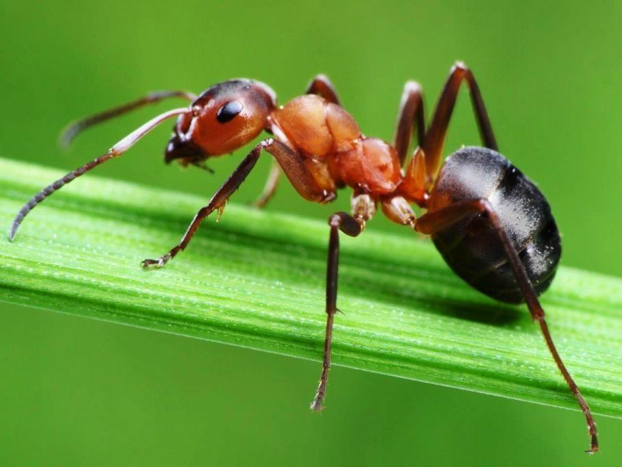Gambar Semut Merah Pada Daun Fotografi Makro
