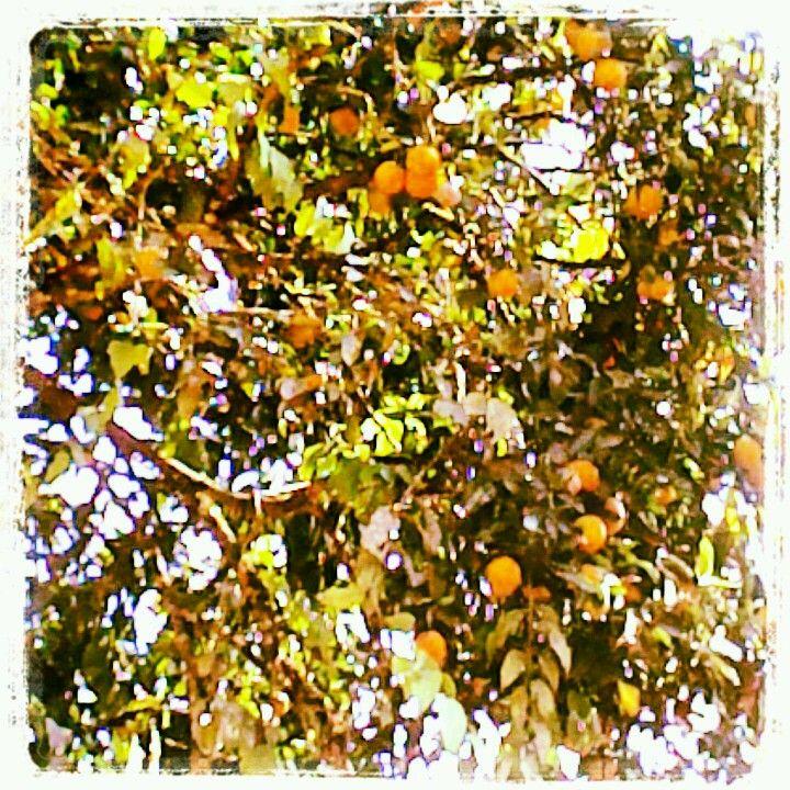 Mi árbol de naranjas!