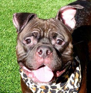 Dedicated To Saving Nyc Shelter Animals Dog Adoption Animals Bulldog