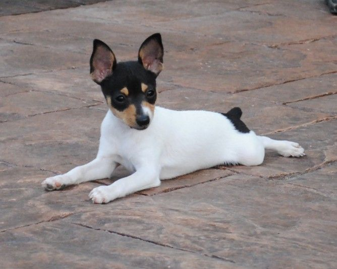 Cute Jack Russell Terrier Chihuahua Mix Puppies Photos Toy Fox