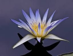 Resultado de imagem para flor de lotus e water lillies brancas