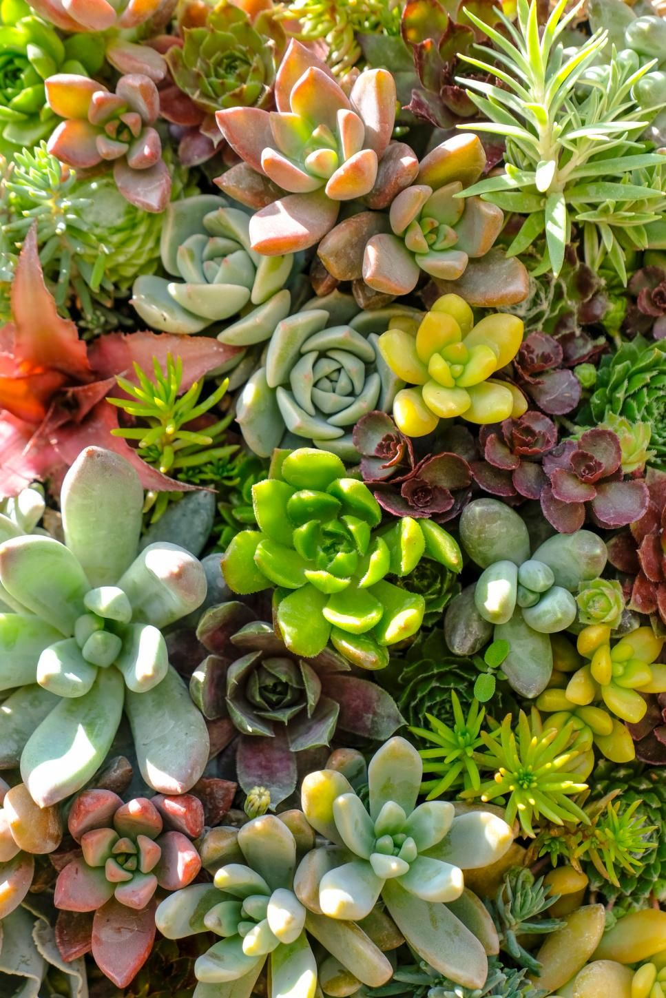 how to transplant succulents into the ground