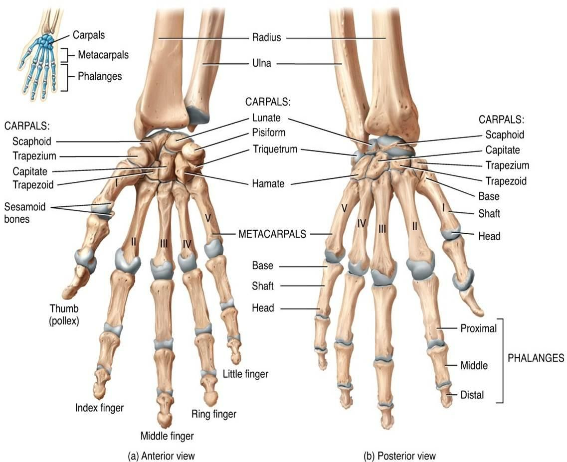 The distal ends of the radius and ulna bones articulate with the hand bones at the junction of the wrist which is formally known as the carpus
