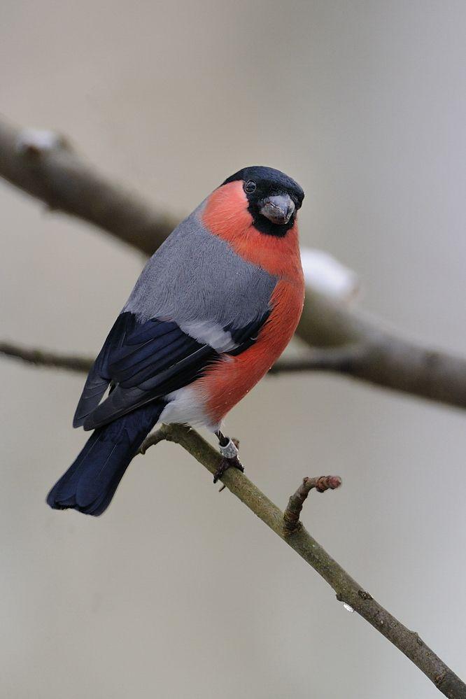 Leider Beringt Aber Dennoch Ein Ansprechendes Model In Meiner Nachbarschaft Wohnt Ein Ornithologe Er Beringt Fast Das Dompfaff Vogel Als Haustiere Gimpel