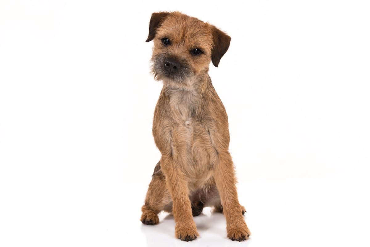Border Terrier Dog Breed Information Terrier Dogs Terrier Dog