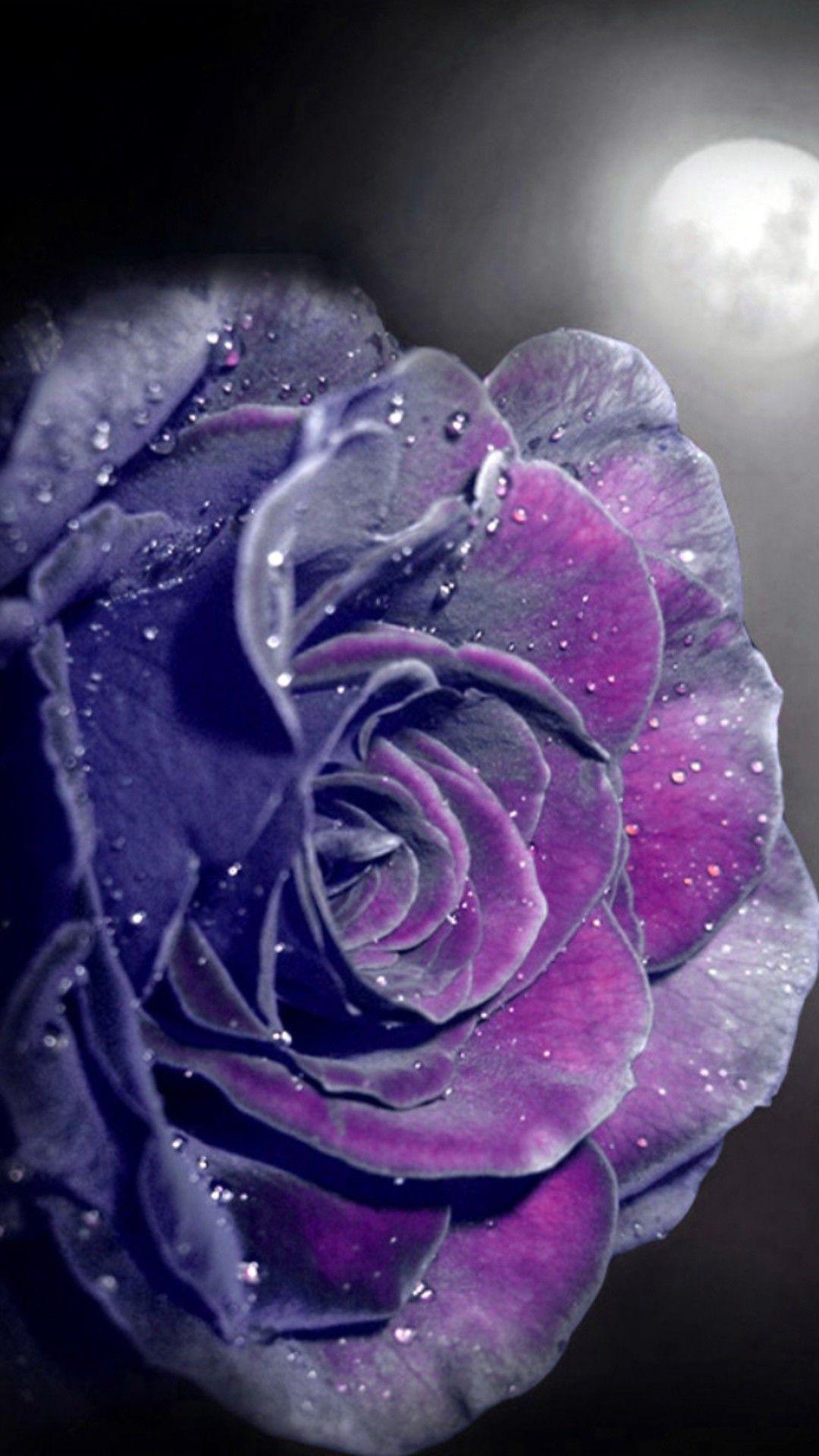 Purple Rose Wallpaper iPhone Best HD Wallpapers