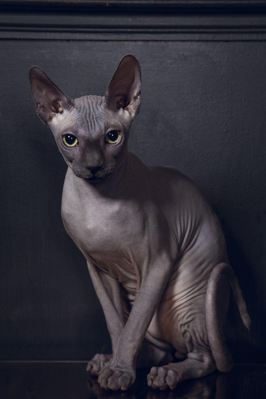 Bald cats: breed name, photo, description 51
