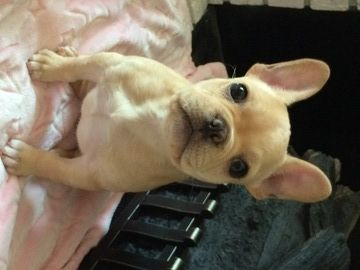 French Bulldog Puppy For Sale In Plymouth Mi Adn 23132 On
