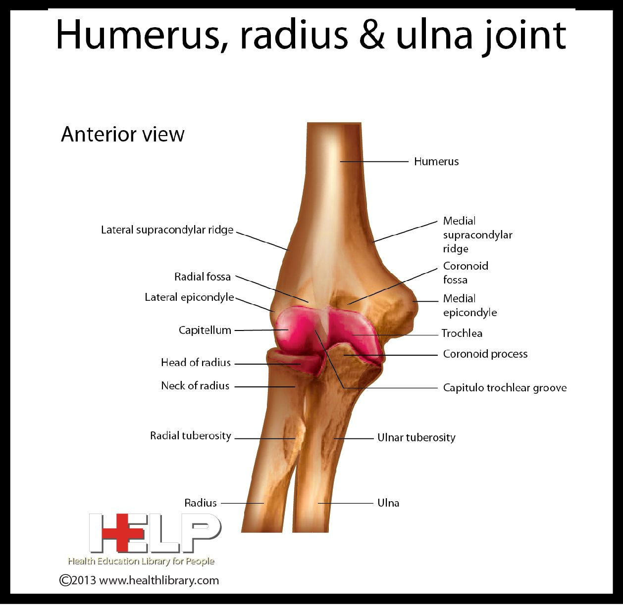 Humerus, radius and ulna joint...capitulum is spelled wrong ...