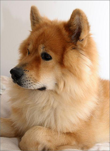 Eurasier Alwin von den VierSeen Eurasier hund, Eurasier