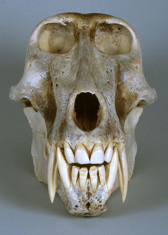 male chacma baboon skull | Skulls and Bones | Pinterest | Skeletons ...