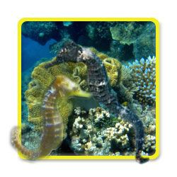Seahorses Black Marine Fish Seahorse Tank Marine Fish For Sale