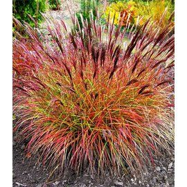 winterhart chinaschilf red chief 1 pflanze miscanthus