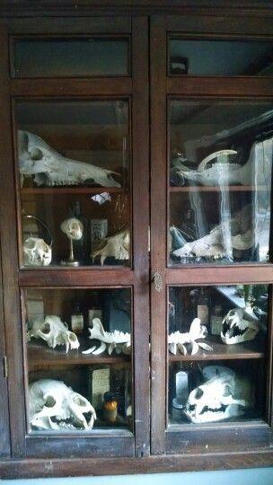 Oddity Curio cabinet skulls