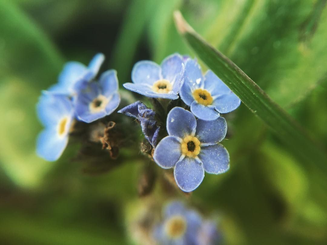 Tiny Blue Flowers Taken Closeup To Give A Sense Of Perspective